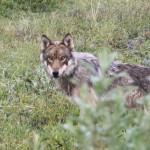 IMG_4064wolf