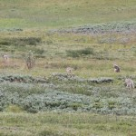 We saw an entire wolf pack - an extreme rarity.